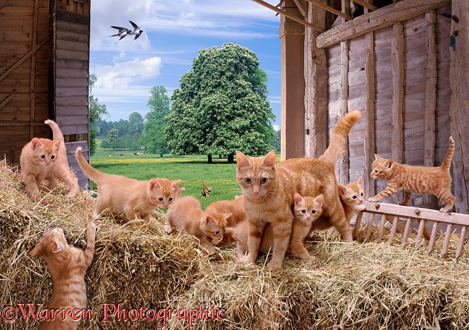 A ginger mother cat and her kittens playing on straw bales in a barn