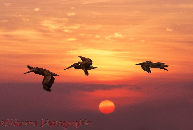 Brown Pelicans flying at sunset