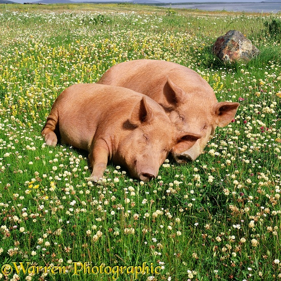 Sleeping pigs in clover and grass
