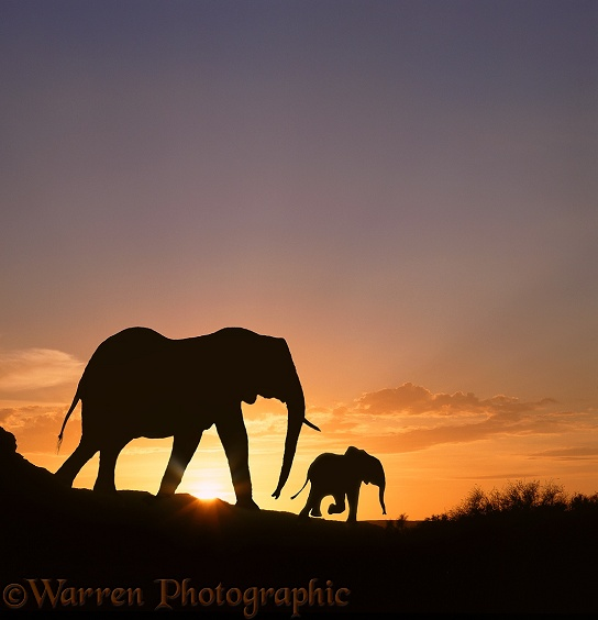 African Elephant (Loxodonta africana) mother and baby at sunrise