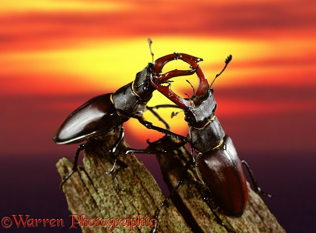 Male Stag Beetles (Lucanus cervus) sparring at sunset.  Europe