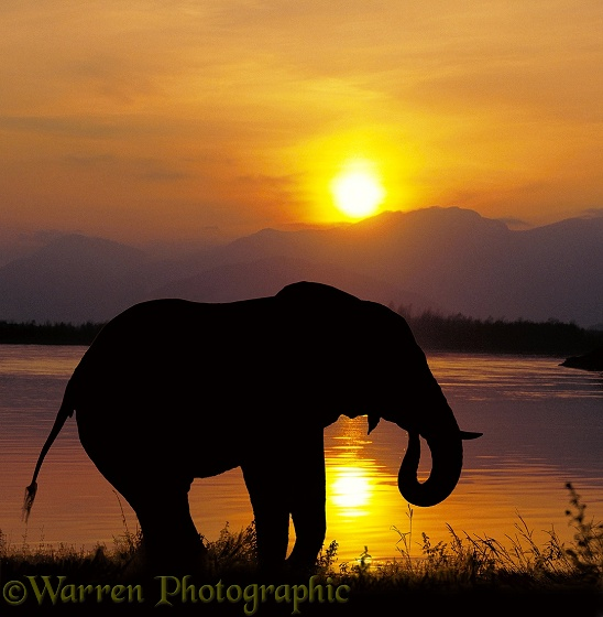 Elephant drinking at sunset