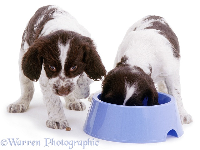 Two Spaniels eating from a blue bowl, white background