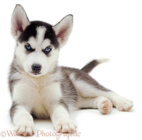 Siberian Husky pup, 6 weeks old, lying with head up, white background