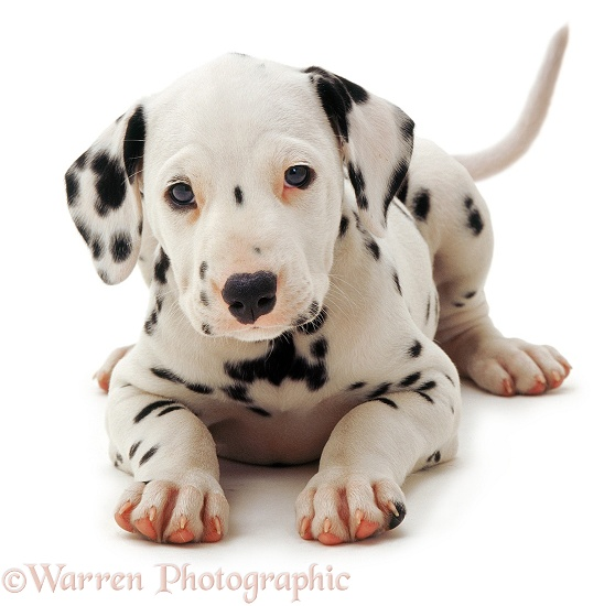 Dalmatian pup crouching, white background