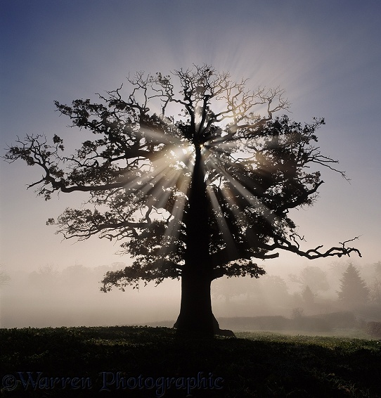 Oak (Quercus robur) with autumnal mist and sunbeams.  Surrey, England