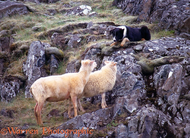 Sheep and sheep dog face-off.  Iceland
