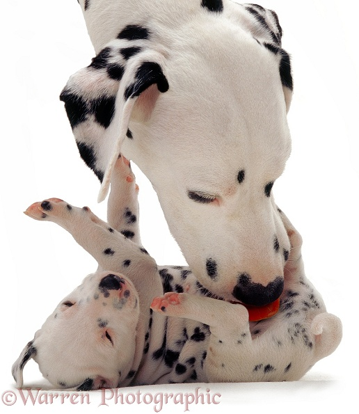 Dalmatian bitch Spot, licking one of her pups, white background
