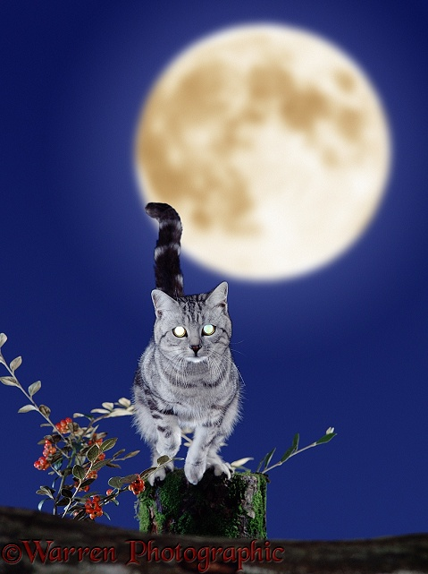 Silver tabby with glowing eyes