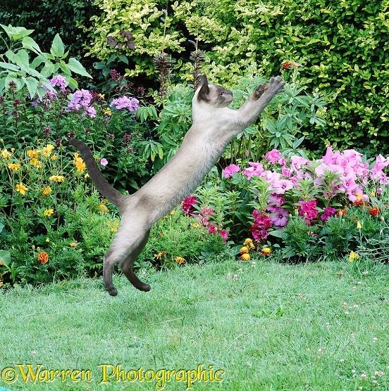 A young Siamese cat takes a leap to try and catch a butterfly
