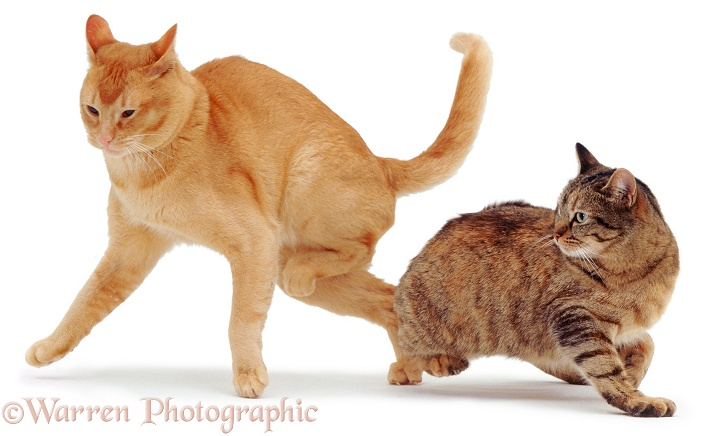 Red Burmese, Ozzie, leaps away as Burmese-cross, Dainty, turns on him, white background
