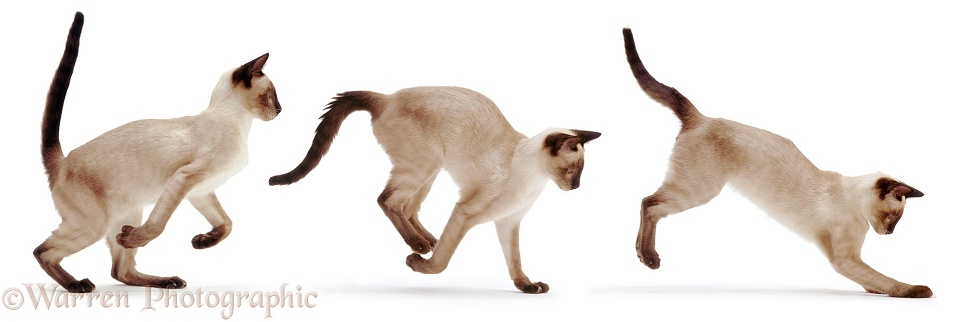 Siamese cat bounding triple image, white background