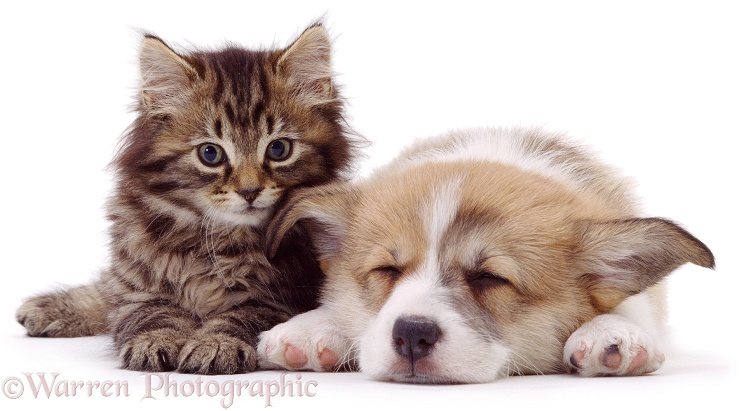 Fluffy tabby kitten with sleeping Pembrokeshire Welsh Corgi pup, white background