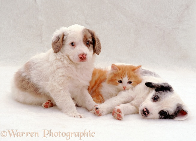Ginger-and-white kitten settling down to sleep with Springer Spaniel x Border Collie pups, Rio and Max, white background