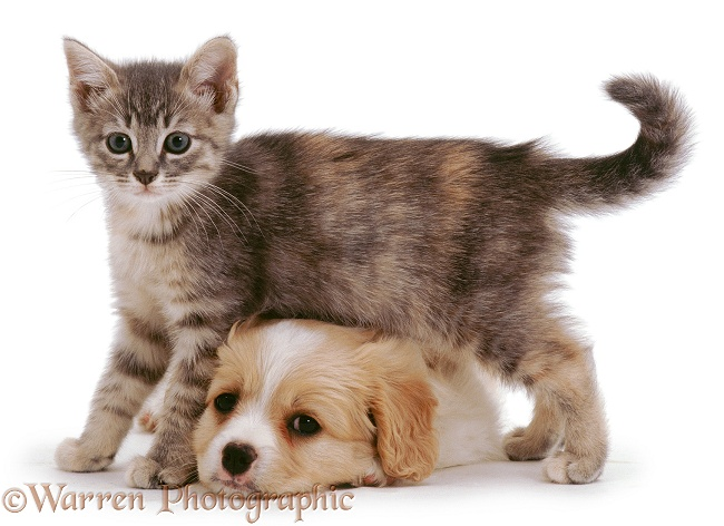 Cavalier x Spitz pup and blue tabby kitten, 8 weeks old, white background
