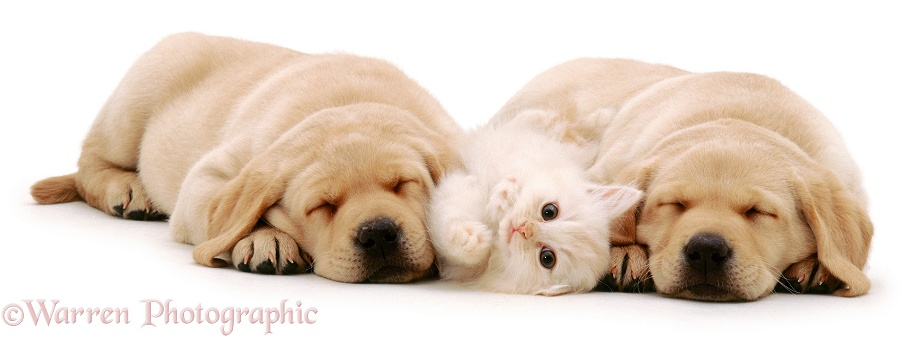 Playful cream kitten, 8 weeks old, with sleeping Yellow Labrador Retriever pups, 6 weeks old, white background