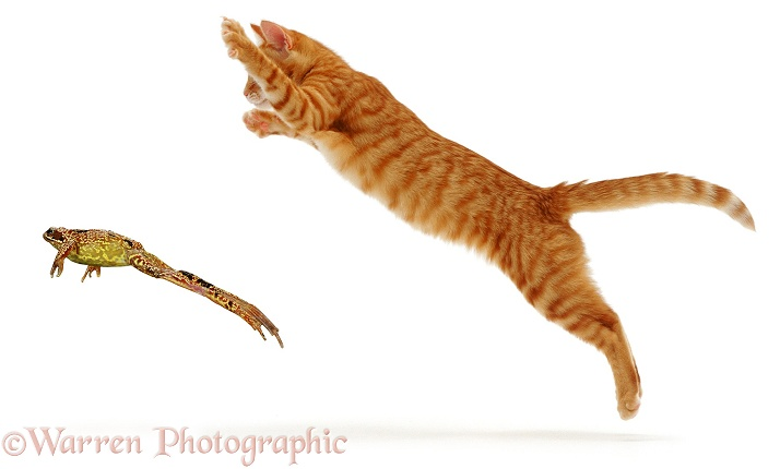 Ginger cat pouncing at a frog, white background