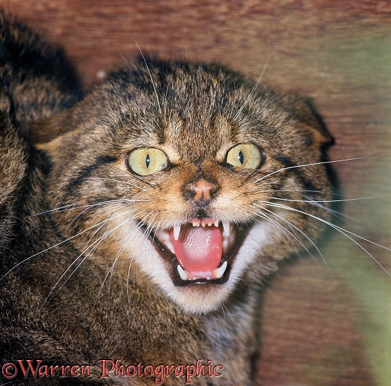 Scottish Wildcat (Felis silvestris grampia) defensive hissing - eyes and mouth wide, teeth bared, ears flat