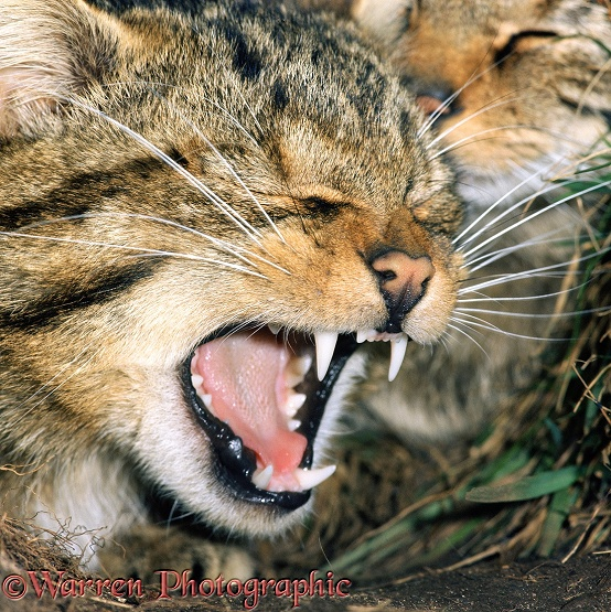 Scottish Wildcat (Felis silvestris grampia) yawning