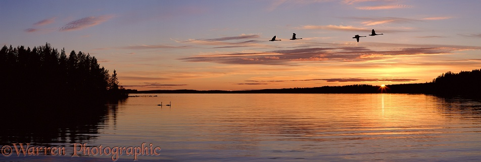 Whooper Swans (Cygnus cygnus) at sunset