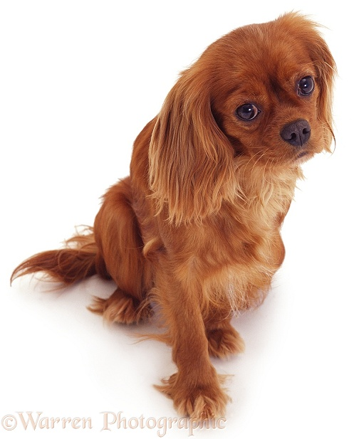 Cavalier King Charles Spaniel bitch, white background