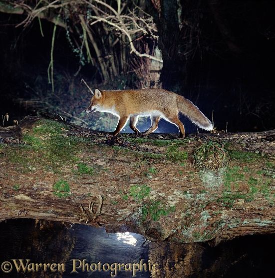 Red Fox (Vulpes vulpes) using a fallen tree trunk to cross a forest stream at night
