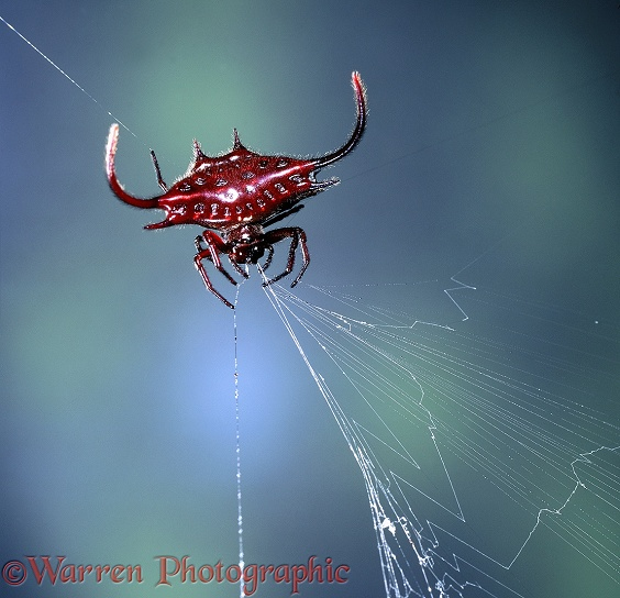 Spiked spider (Gasteracantha sp) eating its web as it winds it in.  East Africa