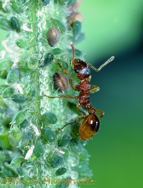 Red ant and aphids