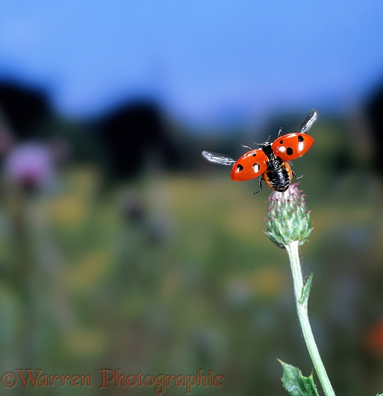 Seven-spot Ladybird (Coccinella 7-punctata) taking off from thistle bud
