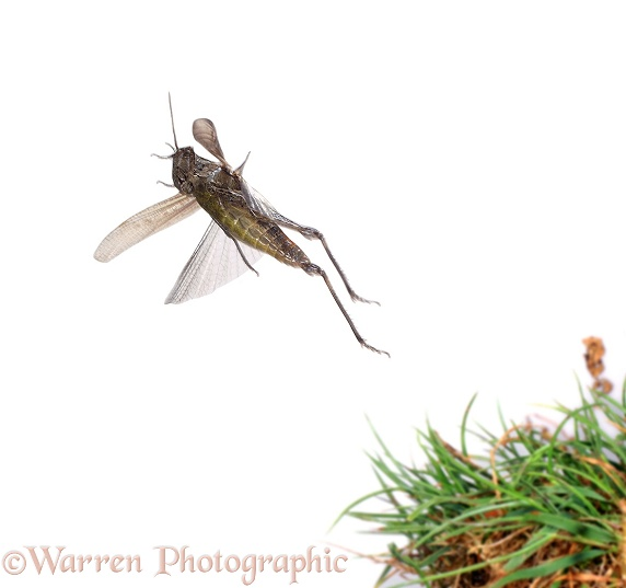Field Grasshopper (Chorthippus brunneus) jumping.  Europe, white background