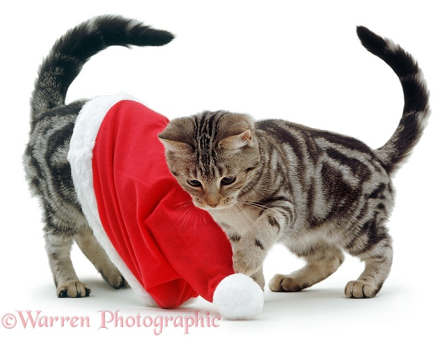 Kittens playing with a Santa hat, white background