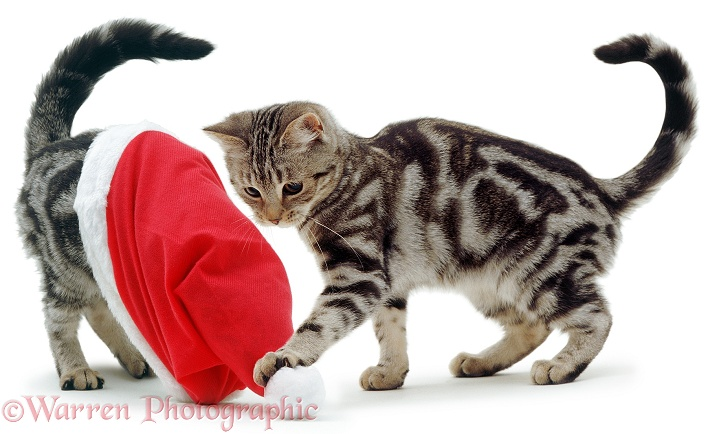 Silver tabby kittens playing with a Father Christmas hat, white background