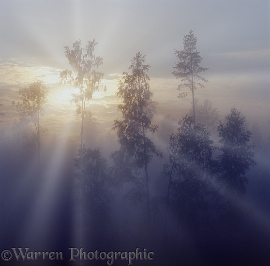 Mist at sunrise with birches and pines.  Finland