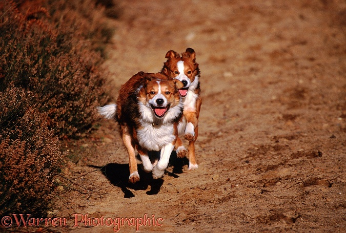 Border Collies, Bobby and Lollipop, running
