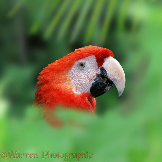 Scarlet Macaw (Ara macao).  Central & South America