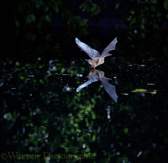 Long-eared Bat (Plecotus auritus) flying over and drinking from a woodland pool
