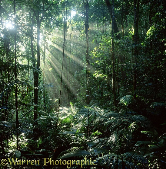 Sunbeams in tropical rainforest.  Queensland, Australia