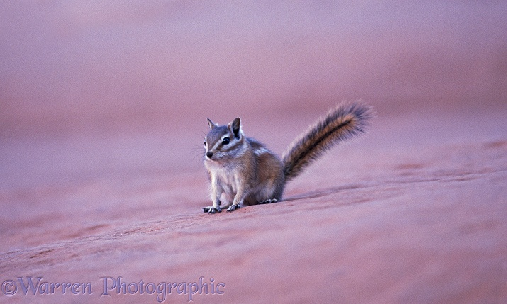 Colorado Chipmunk (Eutamias quadrivittatus).  North America