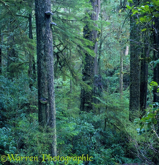Temperate rainforest with rainfall.  Vancouver Island, Canada