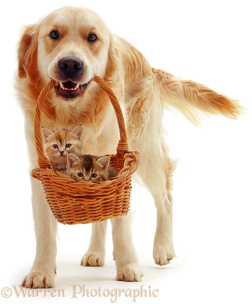 Golden Retriever, Jez, with two kittens in a basket, white background