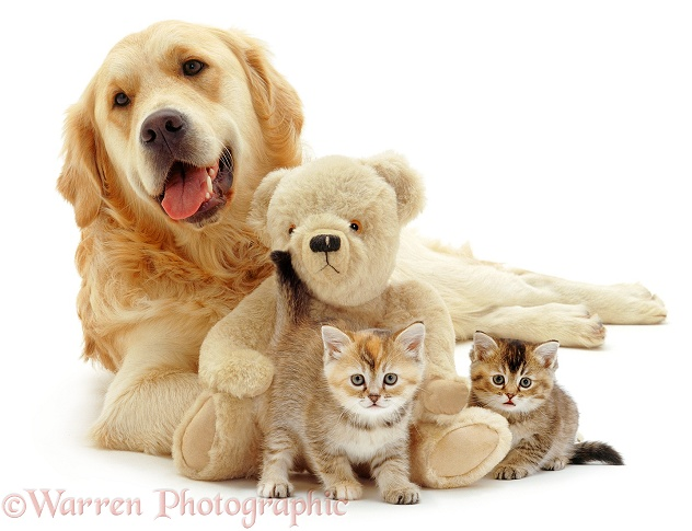 Golden Retriever, Jez, with two kittens and a teddy, white background