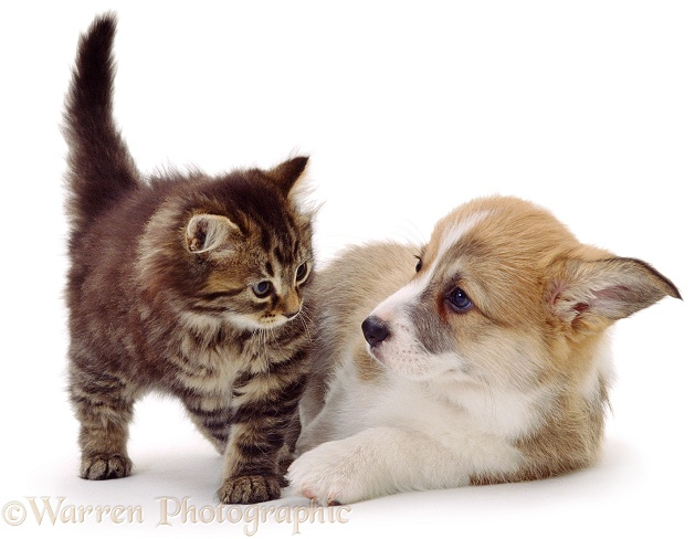 Fluffy tabby kitten with Pembrokeshire Welsh Corgi pup, white background