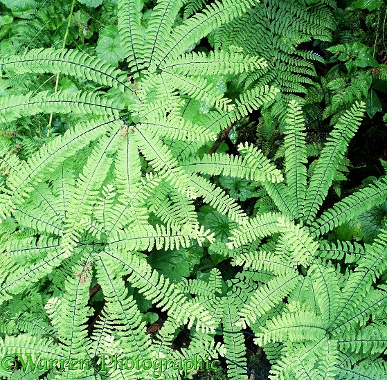 Northern Maidenhair Ferns (Adiantum pedatum).  North America