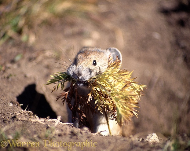 Pika (Ochotona princeps) with winter fodder.  North America