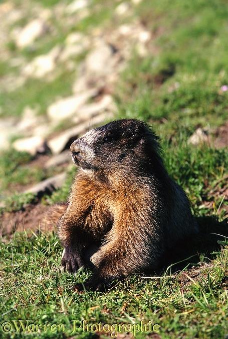 Hoary Marmot (Marmota caligata) sunning itself on a patch of grass.  North America