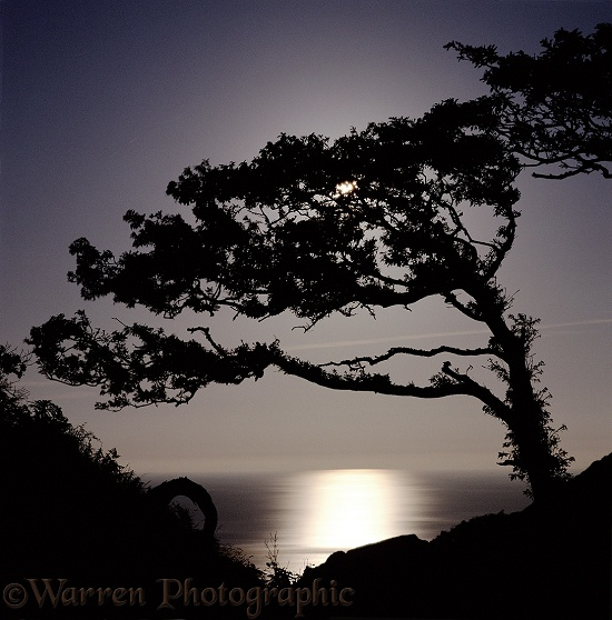 Moon shining through oak tree and reflecting off the sea.  Lundy Island, England