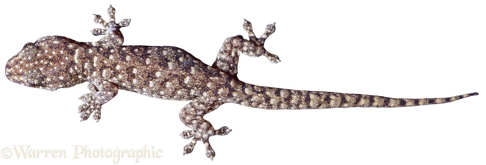 Variegated Dtella (Gehyra variegata).  Australia, white background