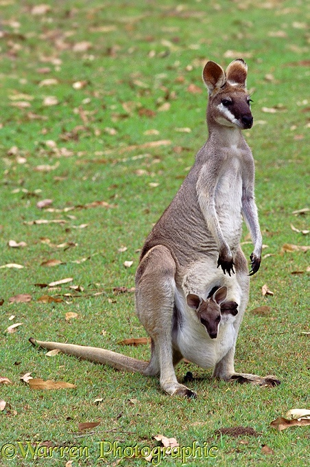Pretty-face Wallaby (Macropus parryi) female with a joey in her pouch.  Australia