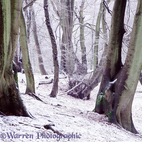 Beech woodland - Winter.  Surrey, England