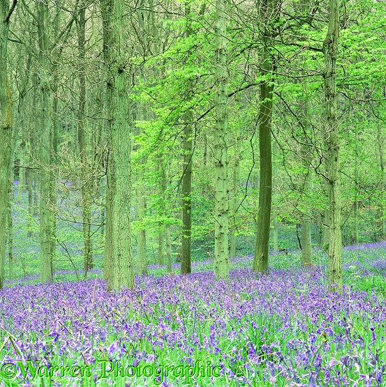 Woodland with Bluebells (Hyacinthoides non-scripta).  Surrey, England